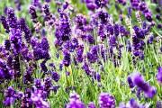 Фото 1 Лаванда (52 фото): посадка и уход за своенравным и красивым растением