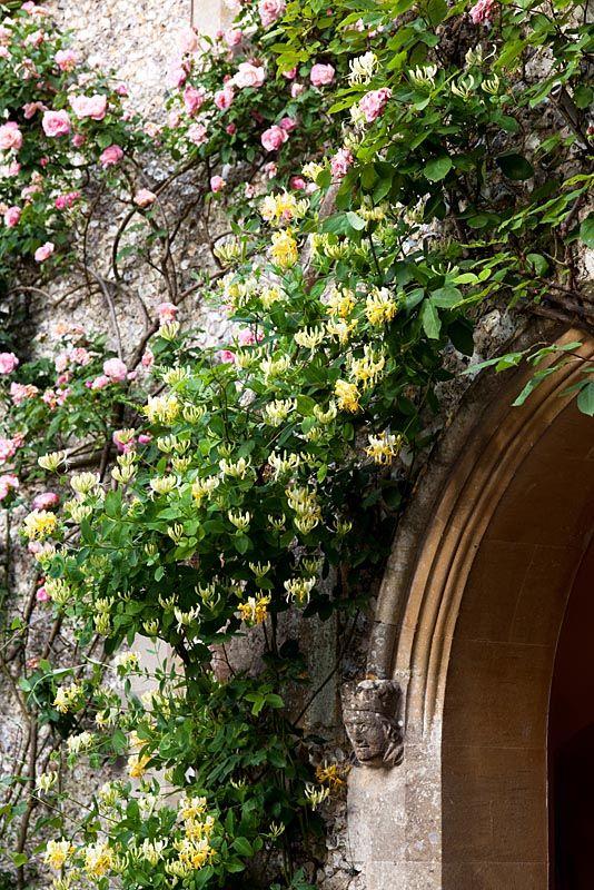 Желтая жимолость красиво смотрится в сочетании с розами