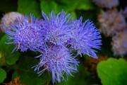 Фото 5 Агератум (55 фото): виды, посадка и особенности выращивания