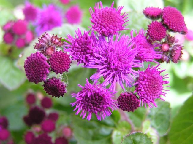 Агератум – прекрасное декоративное растение