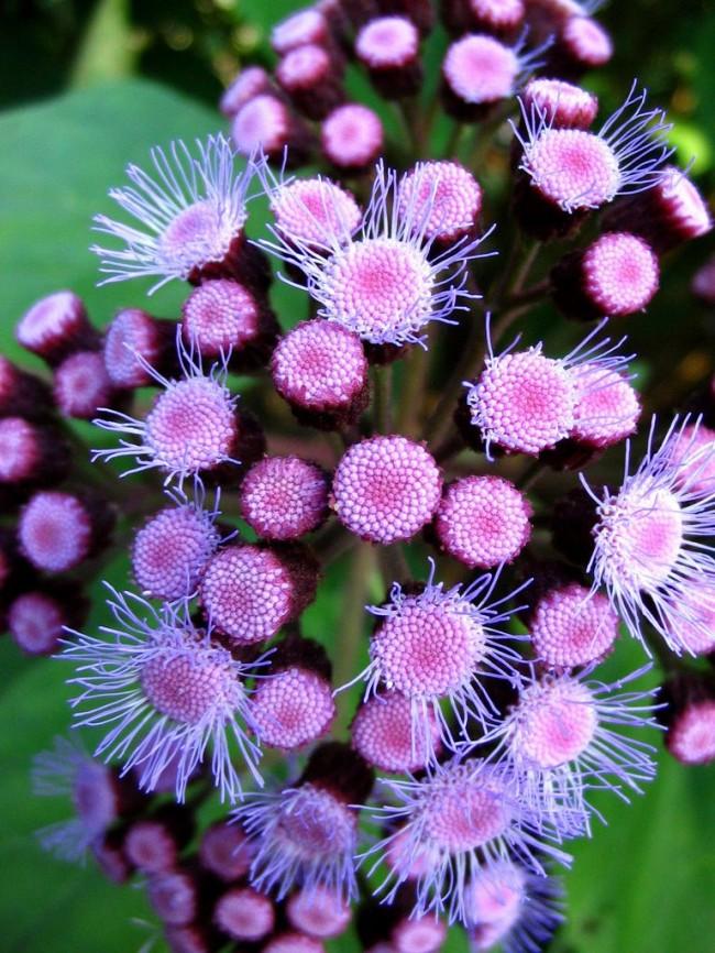 Выращивание агератума из семян – основной и наиболее эффективный способ размножения растения