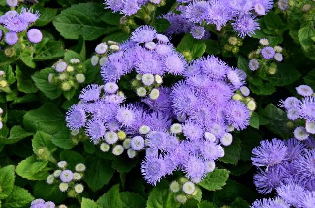 Агератум предпочитает легкую и питательную почву с нейтральной кислотностью
