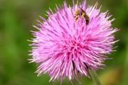 Фото 17 Агератум (55 фото): виды, посадка и особенности выращивания