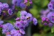 Фото 18 Агератум (55 фото): виды, посадка и особенности выращивания
