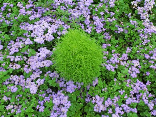 Агератум (55 фото): виды, посадка и особенности выращивания