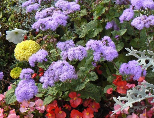 Агератум прекрасно сочетается и с другими видами растений