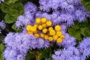 Фото 3 Агератум (55 фото): виды, посадка и особенности выращивания