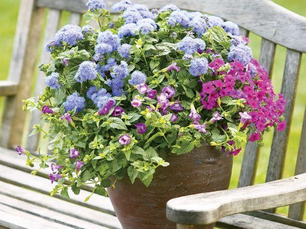 Агератум часто садят с другими растениями, чтобы они создавали необходимую корням прохладу