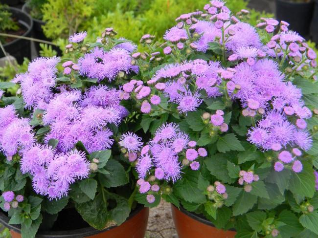 Стрижка - эффективный способ продлить цветение