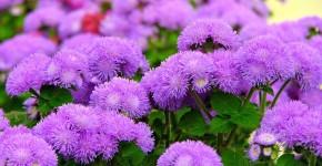 Агератум (55 фото): виды, посадка и особенности выращивания фото