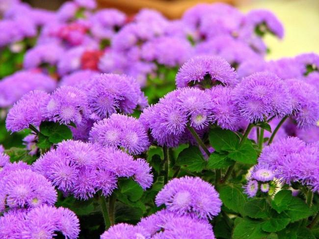 Агератум - необычно красивое растение