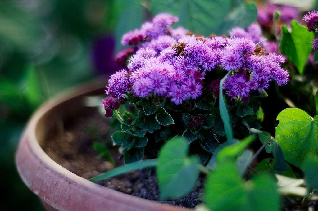 Агератум выращивание из семян 29