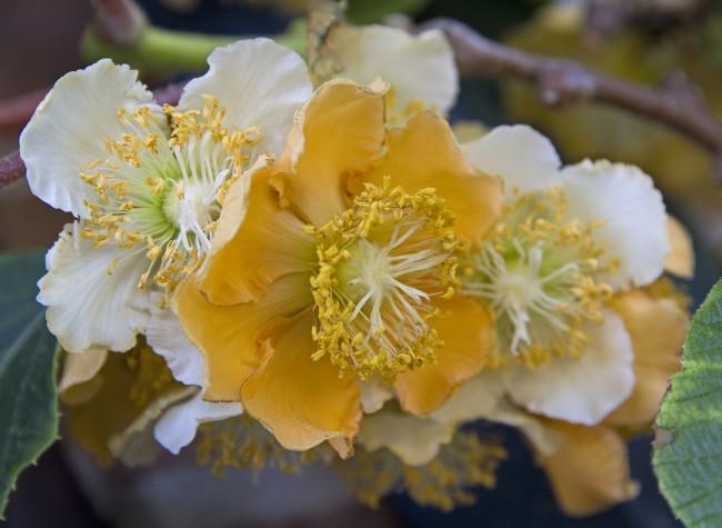 Бархатные цветы нежных оттенков актинидии сорта полигама