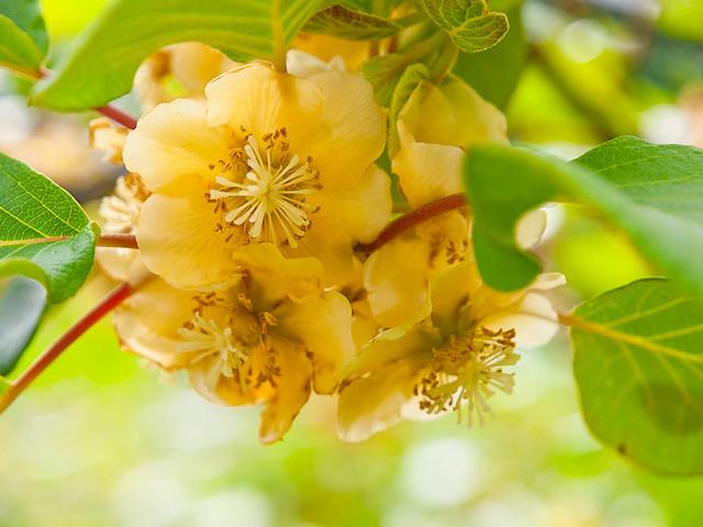 В период цветения актинидия густо порывается нежными бархатными бутонами , распространяя тонкий аромат