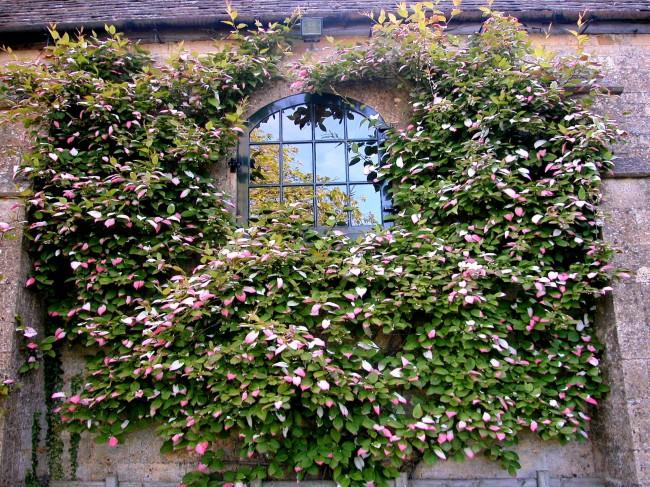 В декоративных целях коломикту очень хорошо использовать в качестве непроницаемых перегородок, огораживающих сад, а также можно пустить по фасаду здания