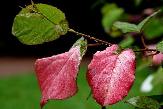 Подобно винограду ее недопустимо обрезать во время сокодвижения, во избежания сильного сокотечения, истощающего растения