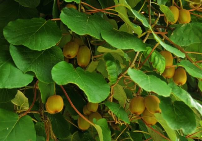 Для хорошего роста актинидии требуются культурные, хорошо удобренные и влажные почвы, суглинистые или супечаные