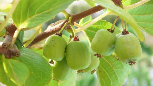 Признательность у садоводов-любителей актинидия получила за хорошее качество своих съедобных плодов-ягод, вкусных, нежных и питательных