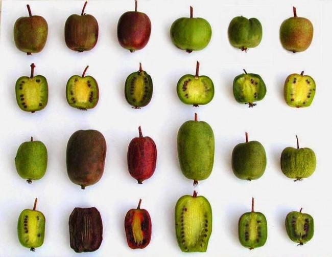 Плоды каждого и сортов актинидии отличаются по форме и вкусовым характеристикам