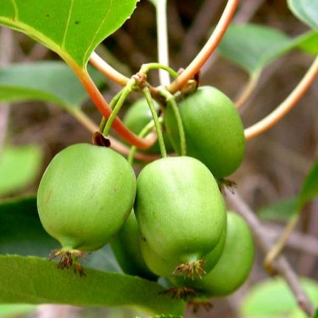Разнообразные по форме плоды служат дополнительным украшением в пору плодоношения.