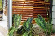 Фото 17 Алоказия (54 фото): экзотическое великолепие в каждом листе