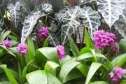 Фото 10 Алоказия (54 фото): экзотическое великолепие в каждом листе