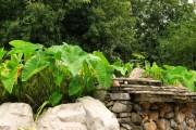 Фото 5 Алоказия (54 фото): экзотическое великолепие в каждом листе