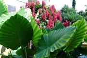 Фото 2 Алоказия (54 фото): экзотическое великолепие в каждом листе