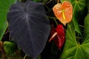 Фото 11 Алоказия (54 фото): экзотическое великолепие в каждом листе
