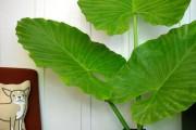 Фото 3 Алоказия (54 фото): экзотическое великолепие в каждом листе