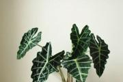 Фото 14 Алоказия (54 фото): экзотическое великолепие в каждом листе