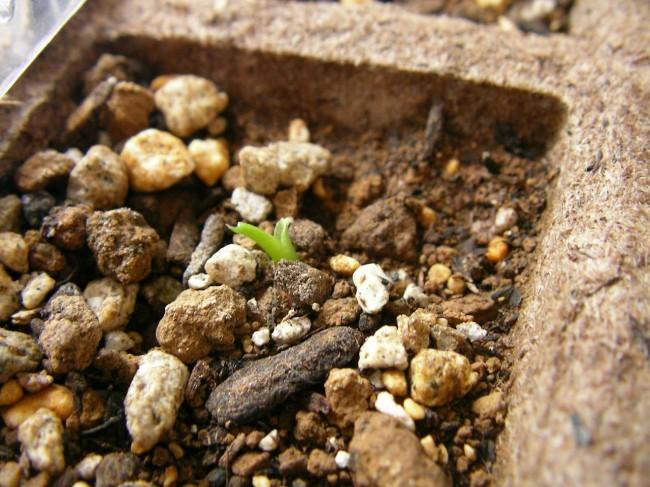 Пересадку в горшок начинают тогда, когда растение даст два-три листка, а его корни надежно переплетут грунт