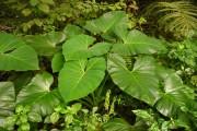 Фото 18 Алоказия (54 фото): экзотическое великолепие в каждом листе