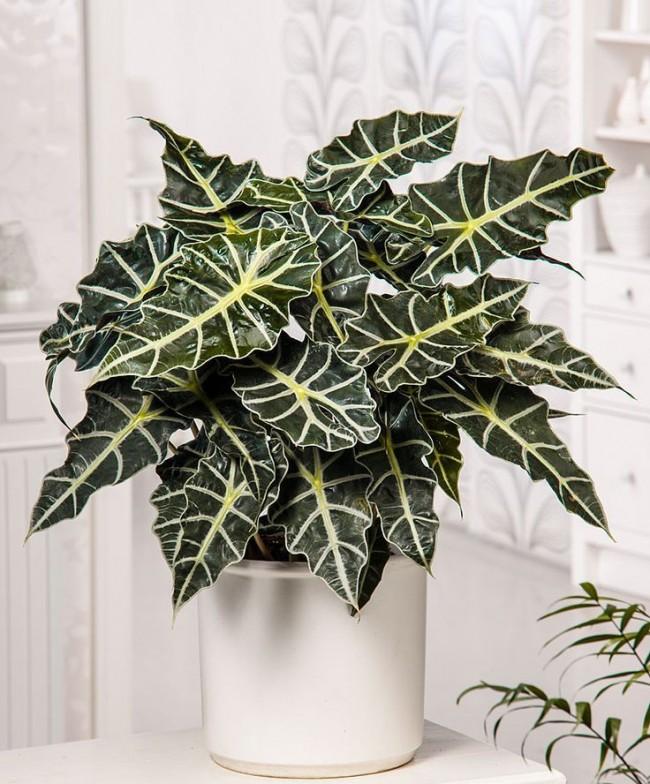 Алоказия Полли - красивое комнатное растение