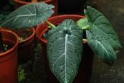 Фото 25 Алоказия (54 фото): экзотическое великолепие в каждом листе