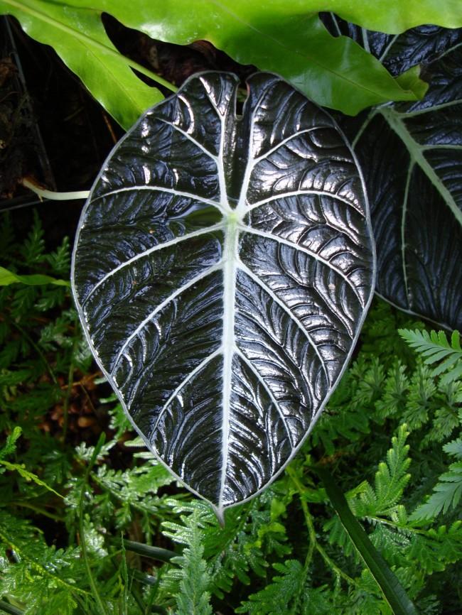 Алоказия медно-красная красивое, но очень ядовитое растение