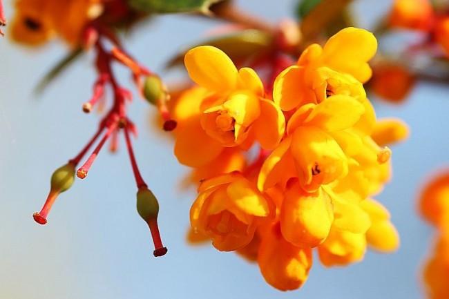 Ярко-желтые цветы барбариса
