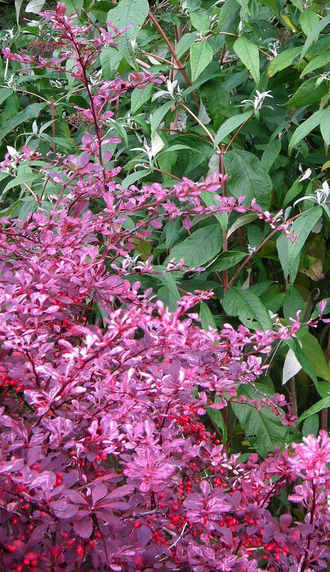 Барбарис с фиолетовыми листьями
