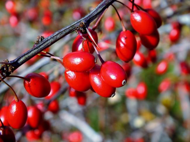Ярко-красные ягоды барбариса