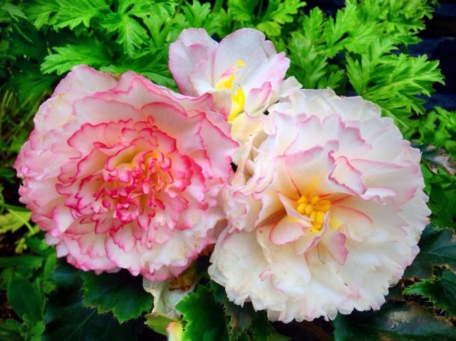 Светло-розовые цветки бегонии с красноватой каймой по краям лепесков