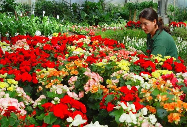 Бегония - красивый цветок который хорошо себя чувствует и домашних условиях и в саду