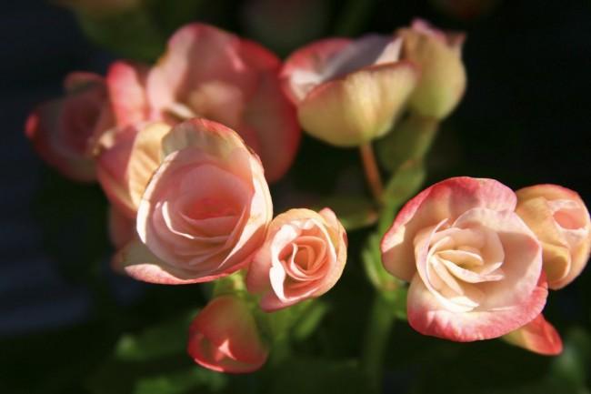 Нежно-розовые цветы бегонии