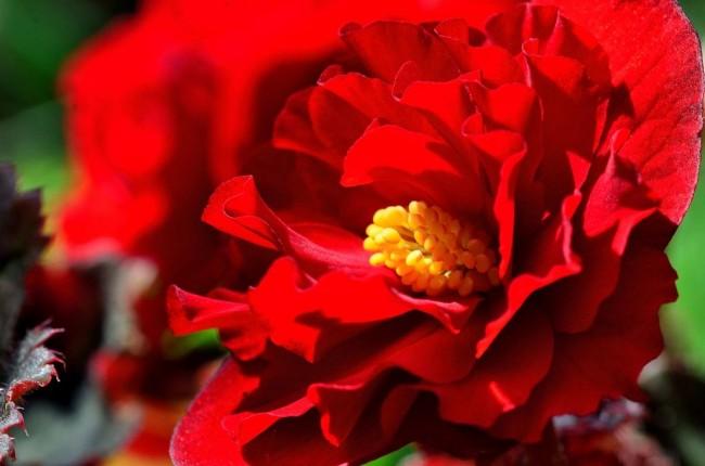Бегония - прекрасный цветок с очень большим разнообразием как лиственных, так и цветущих видов