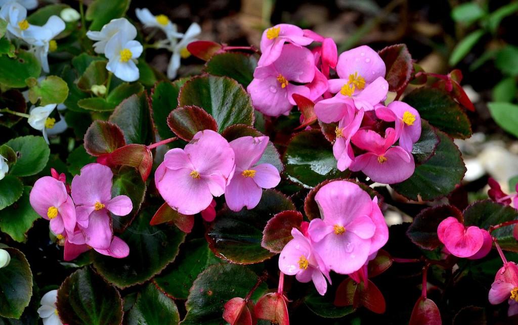 Гиацинт - домашний и садовый цветок. Выращивание и уход