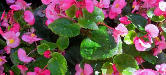 Размножение бегонии можно проводить черенкованием, листом и делением корня или куста