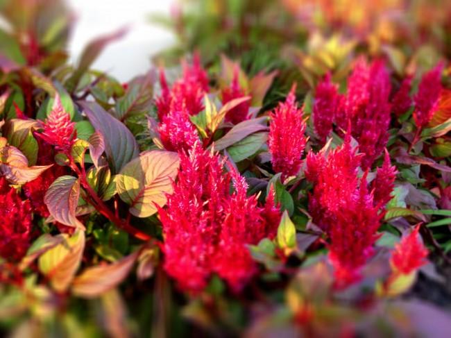 Необычная целозия с яркими красными соцветиями и красноватыми листьями