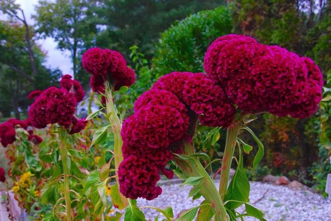 Богатство глубокого пурпурного цвета привлекает внимание к этому пышному цветку