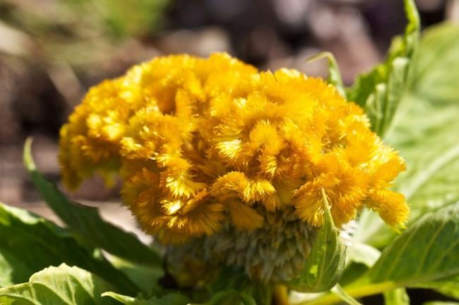Желтая гребенчатая целозия