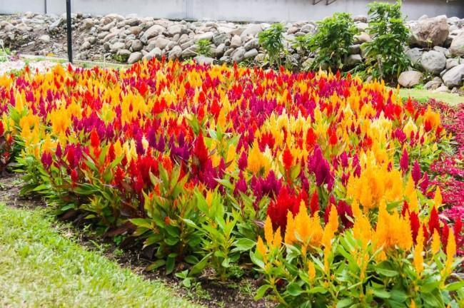 Цветы целозия посадка и уход в