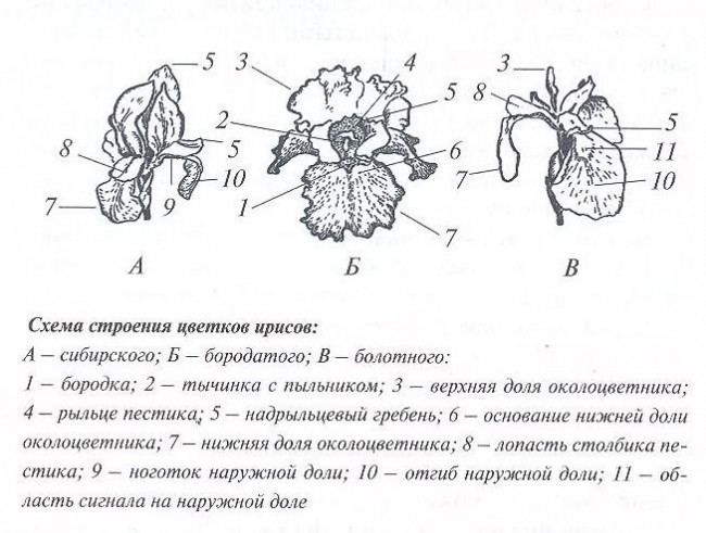 Цветы ирисы - схема строения